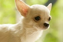 Only Chihuahuas / I LOVE Chihuahuas.  had them growing up...my parents bred them...and we love our current Chihuahua, Eddie.  They are so cute and cuddly. / by Randy Jondal