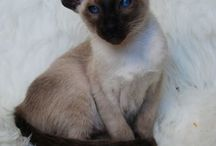 Bella The Siamese Cat