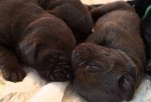 Labrador of RoyalContinentals / Eine außergewöhnliche Hundezucht. Wunderschöne reinrassige Labradore in den Farben Chocolate, Charcoal, Champagner, Foxred und Schwarz. Gesunde Welpen direkt vom Züchter. Mehrmals im Jahr neue Hundewelpen- siehe Wurfplanung.