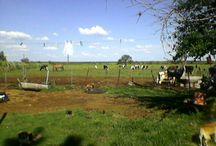 el campo de mi tía BETY- NOGOYÁ E, RÍOS / LAS VACAS DE MI TÍA Y SUS PERROS.