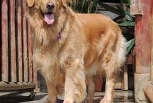 c. / Golden retriever