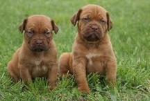 Purebredbreeders.com help to find your Dream Puppy / Purebredbreeders.com is the finest destination for you to find a healthy, happy puppy.  We use an extensive screening process to qualify our breeders and place health-checked purebred and designer breed puppies into loving homes.  Visit http://purebredbreeders.com to find your puppy today. / by Purebred Breeders