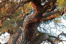 the most interesting Polish pine / trees, pinus, pine, old tree,