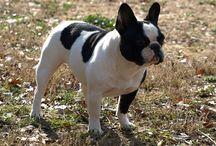 Bulldog Francez de vanzare / Vindem catei Bulldog Francez, diverse variante de culoare. Masculi si femele la 2 luni, deparazitati, vaccinati, carnet de sanatate, pasaport, microcip. Garantie de sanatate si de rasa prin contract. Transport gratuit. Pentru informatii suplimentare va rugam sa ne contactati. Va multumim!