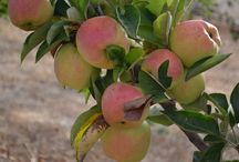 Best Bay Area Apple Picking Orchards / Fall is almost here and the apples are ready to pick! Check out our collection of the top pick-your-own orchards in the Bay Area.