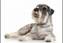 Miniature Schnauzers & Friends / Miniature Schnauzers and Friends is about training and enjoying delightful puppies and helping them to grow to be obedient dogs that are loved by everyone.