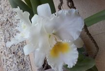 minhas orquídeas / orquídeas