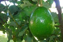 Natural food / AVOCADOS ~ FARM FRESH ~ PESTICIDE FREE ~