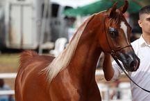 Arabians with blaze ♥