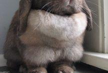 Grube króliki