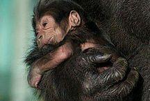 monkeys, simpanses and gorillas