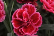 Fleurs pour P & O