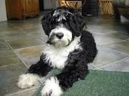 Portuguese Water Dogs / by Therese Dignard
