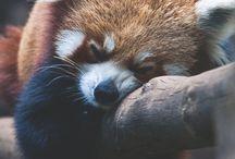 Red Pandas/animals