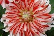 Flowers -Dahlia