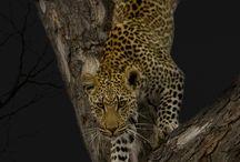 Loepards / Animal