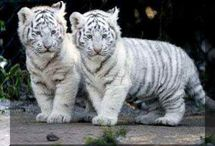 Baby tijgers