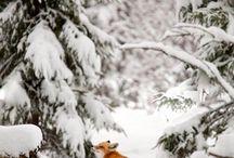 Animals | Fox
