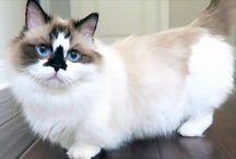 Albert Baby Cat ! / Le Munchkin trop mignon, nouveau roi d'Instagram !
