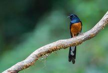 11 Jenis Burung Murai Batu Terpopuler di Indonesia dan Mancanegara