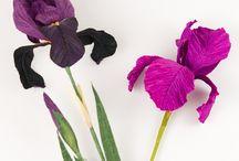 iris cartaceo