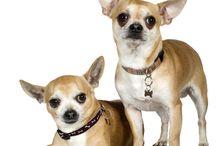 Chihuahua de vanzare / Vindem catei de rasa Chihuahua, Chihuahua Baby Doll Face, Chihuahua TeaCup si Chihuahua cu par lung. Masculi si femele la 2 luni, vaccinati si deparazitati. Pentru informatii suplimentare va rugam sa ne contactati. Va multumim!