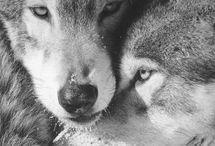 Fascination pour mes amis loups