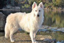 Alaska, The White Swiss Shepherd