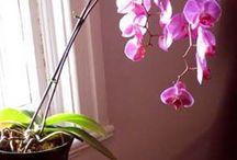 Orchidée Nouvelle Hampe