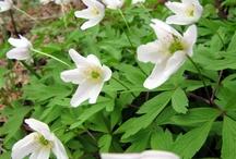Spring flowers / Kevään kukkijoita