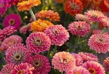 Garden~Annuals