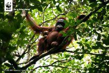 Orangutan / Orangutan hanya ada di Sumatra dan di Borneo. Anak-anak di seluruh dunia paham bahwa Kangguru berasal dari Australia, dan Panda dari China, tetapi tidak banyak yang mengetahui bahwa Orangutan umumnya ada di Indonesia. Kenali orangutan di www.wwf.or.id/sahabatorangutan
