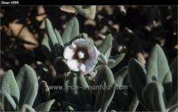 Oman flowers