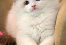 Ragdoll cats / Gleder meg til vi anskaffer oss to av denne rasen