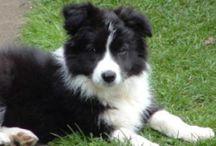 my dog cross / o crossie