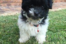 Puppies black white
