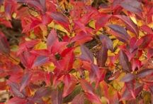 Plants for Fall Color