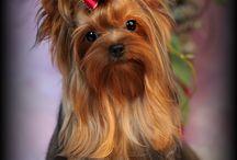 Yorkie Terrier / I love love love Yorkies