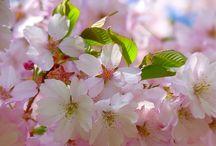 Kiraz Çiçekleri - Sakura - Cherry Blossom / <3
