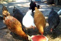 Chicken Stuff 4 Kristi / by Christina Alexander