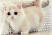 Munchkin cats <3