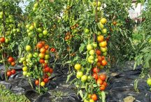 помидоры на улице