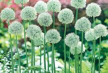 Must-Have Alliums / Alliums! I like alliums because they are trouble free and blooms are long lasting. / by Patsy Bell Hobson