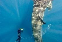Tiburón ballena / Nadar con tiburón !!