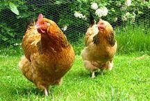 les poulettes