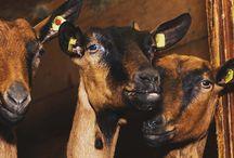 Goats & Dairy Goats