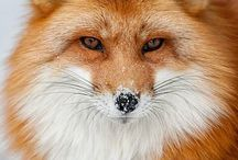 Fox / by Olga Sugden