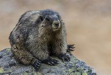 Reference: Marmot