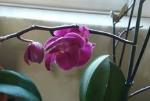 my orchids...my babies... / taking care of orchids