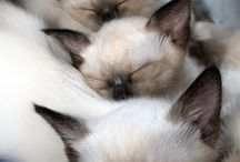 Tonkinese and Burmese Cats / Grey, Brown, Chocolate color